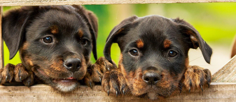 Drupal Puppies